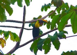 chestnut_mandible_toucan-300x214