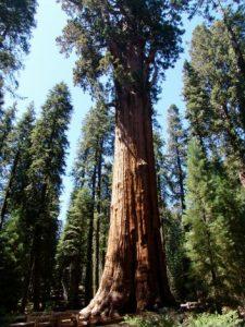 general_sherman_tree-225x300