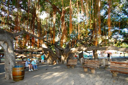 HAWAII: Lahaina Banyan Tree in Maui | THEWANDERINGHOUSEWIFE.COM
