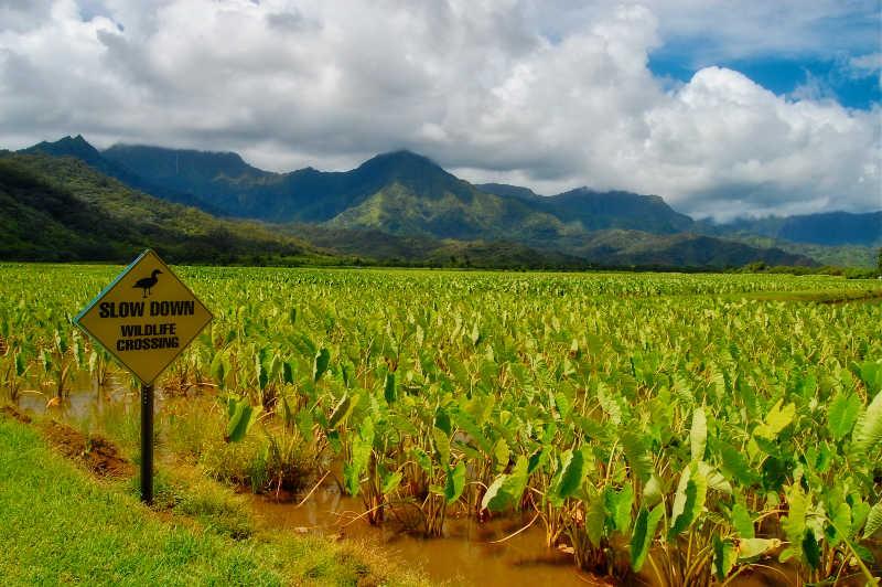 Taro Fields in Kauai | THEWANDERINGHOUSEWIFE.COM