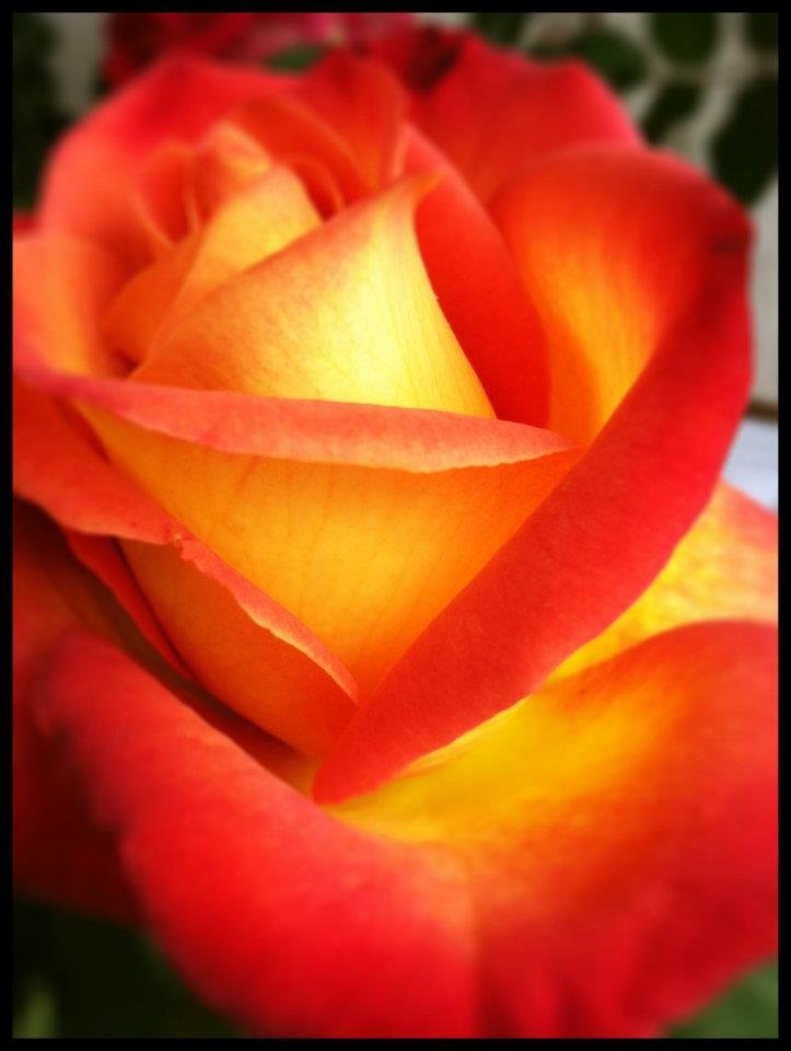 SAN DIEGO: A Red and Yellow Rose from the Coronado Flower Show | TheWanderingHousewife.com