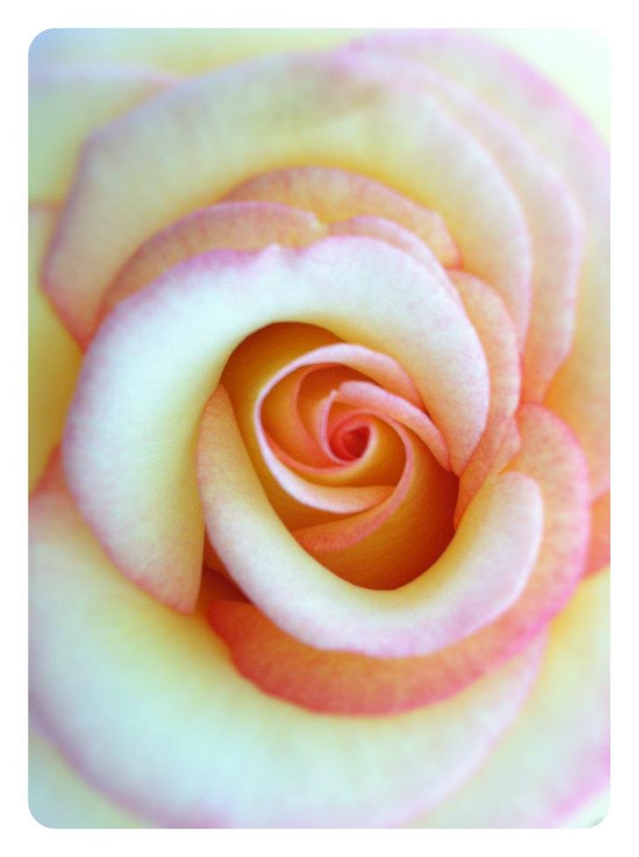 SAN DIEGO: A Pink and Yellow Rose from the Coronado Flower Show | TheWanderingHousewife.com