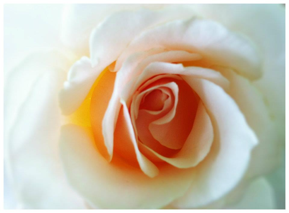 SAN DIEGO: A Pale Pink Rose from the Coronado Flower Show | TheWanderingHousewife.com