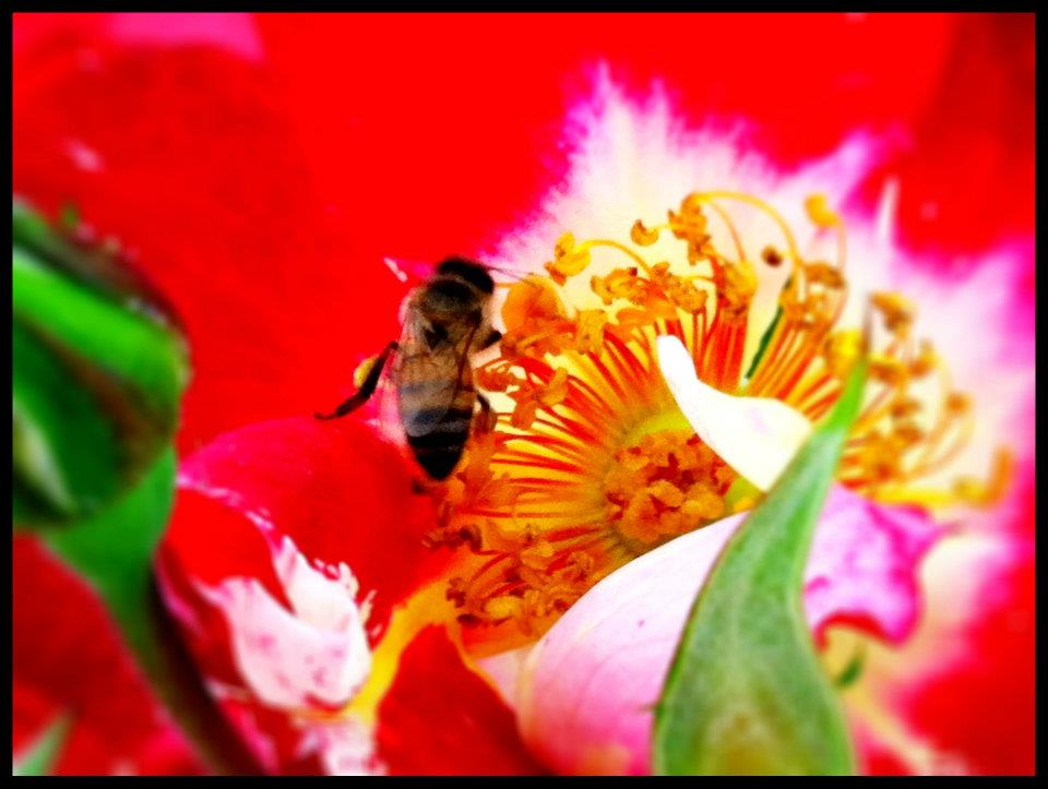 SAN DIEGO: A Bee on a Flower from the Coronado Flower Show | TheWanderingHousewife.com
